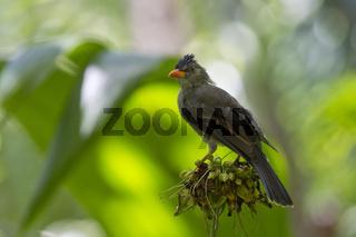 Dickschnabelbuelbuel, Hypsipetes crassirostris, Seychelles Bulbul
