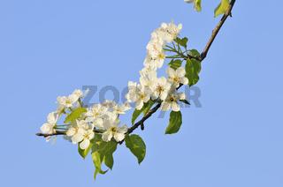 Apfelblüte, Apple blossom, Zweig Apfelbaum