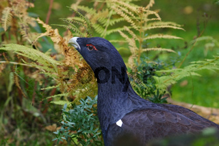 Auerhuhn - Maennchen, Tetrao urogallus, wood grouse - male
