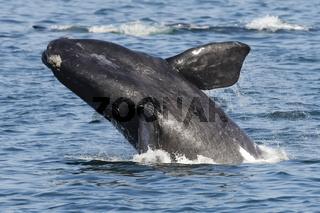 Südkaper, Südlicher Glattwal, Südafrika