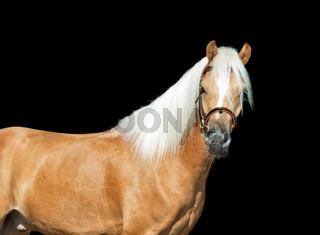 beautiful palomino welsh pony at black background