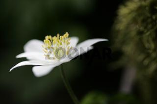 Buschwindroeschen, Anemone nemorosa, Wood anemone, Deutschland, Germany