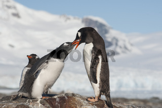 female Gentoo feed large chicks at the top of the slope