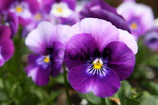 Hornveilchen,  horned violet