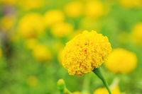 marigolds with natural background.