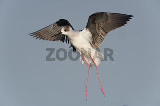 Stelzenläufer / Black-winged Stilt / Himantopus himantopus