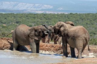 Badende Elefanten, Südafrika; bathing elephants, south africa