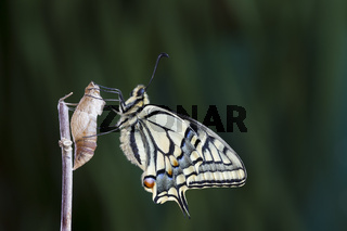 Schwalbenschwanz, Papilio machaon, Common Yellow Swallowtail