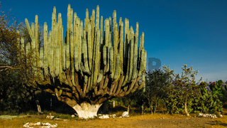 The giant Euphorbia plant, Mexico