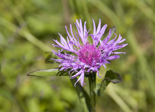 Wiesen-Flockenblume Centaurea jacea