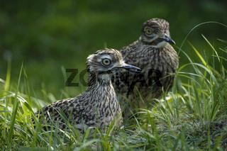 Kaptriel, Paar, Burhinus capensis, Spotted Thick-knee, couple
