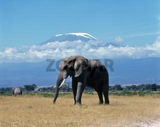 Elefant vor Kilimanjaro, Amboseli NP, Kenya