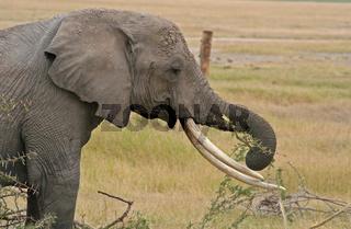 Afrikanische Elefanten, Kenia