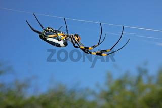 Golden orb web spider 02