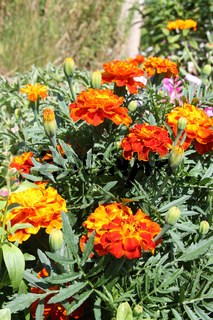 Orange marigolds (Tagetes patula) in the garden