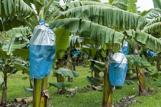 Schutz der Bananenstauden vor Tierfrass, Queensland, Australien