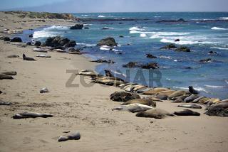 Seeelefanten in Kalifornien