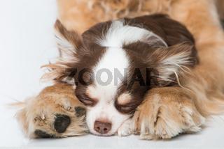 Hund schläft zwischen Pfoten