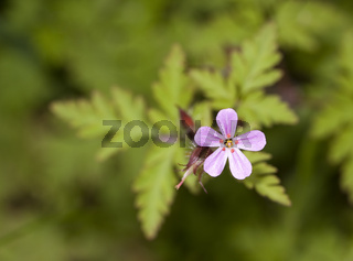 Ruprechtskraut Geranium robertianum