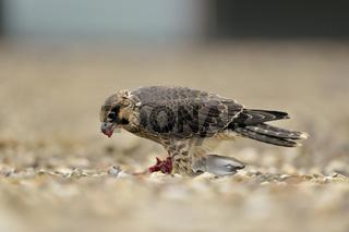 das große Fressen... Wanderfalke *Falco peregrinus*