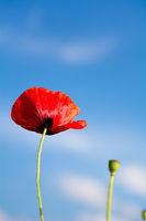 Eine rote Mohnblume ragt in den blauen Himmel