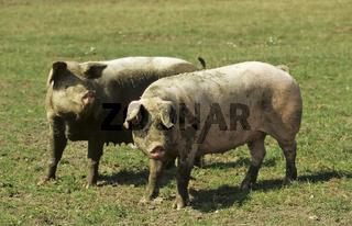 Landschweine, Artgerechte Tierhaltung, Süddeutschland