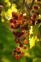 Eine Weinrebe mit reifen roten Weintrauben hängt an einem Weinstock