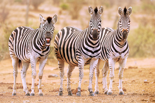 Steppenzebras, eins gähnt, Südafrika, Kruger Nationalpark, Plains Zebra, one is tired, South Africa