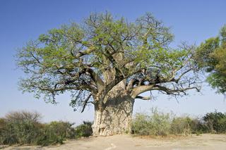 Afrikanischer Baobab, Afrikanischer Affenbrotbaum (Adansonia digitata), Mahango-Nationalpark, Caprivi Streifen, Namibia, Afrika, Baobab, Mahango Game Park, Caprivi Strip, Namibia, Africa