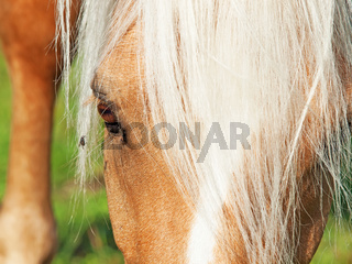 palomino welsh pony and fly. close up