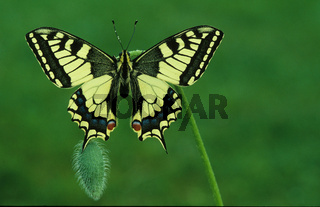 Schwalbenschwanz, Old Swallowtail, Common Yellow Swallowtail, Swallotail, Papilio machaon,