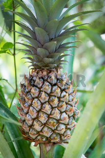 Green pineapple fruit and plant