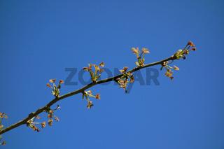 Ginkgo biloba, Ginkgobaum, Maidenhair Tree, Blattaustrieb, young leaves, Frostschaden, frost damage