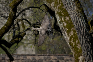 Sakerfalke, Falco cherrug, saker falcon