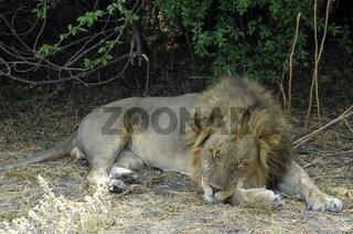 Schlafender Männlicher Löwe  (Panthera leo)