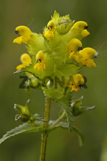 Kleiner Klappertopf (Rhinanthus minor)Yellow Rattle