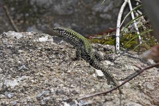 Mauereidechse - Maennchen, Podarcis muralis nigriventris, common wall lizard - male