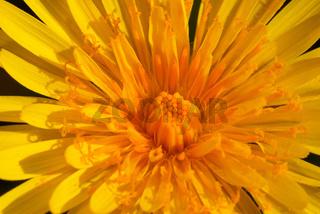 Flower ( taraxacum vulgare )