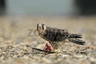 bei der Mahlzeit... Wanderfalke *Falco peregrinus*