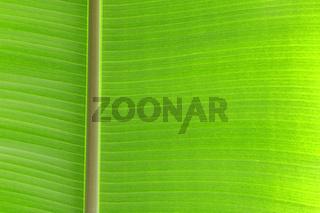 Blattstruktur des Blattes einer Bananenpflanze, Musa spec. im Gegenlicht