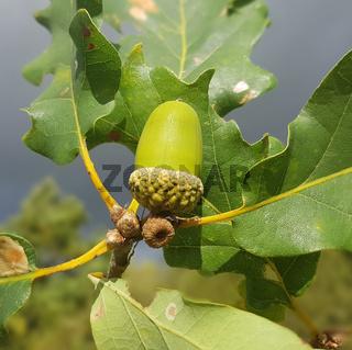 Traubeneiche; Quercus; petraea; Wintereiche