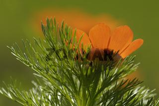 Sommer-Adonisroeschen, Adonis aestivalis, Summer Pheasant's Eye