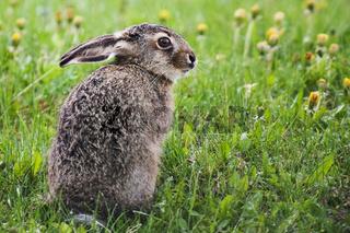 junger Feldhase auf einer Wiese / jung brown hare in a meadow