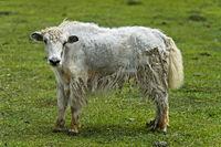 Yak Kalb auf der Weide