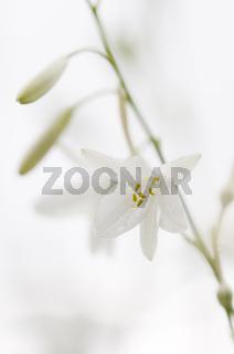 Ästige Graslilie / St. Bernard's lily / Anthericum ramosum