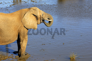Afrikanischer Elefant beim Trinken an einer Wasserstelle