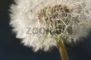Macro Dandelion Blossom