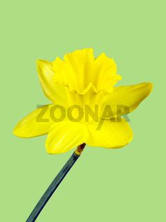 Gelbe Blüte einer Osterglocke freigestellt auf grünem Hintergrund