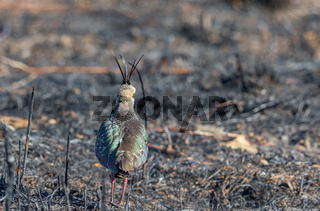 Northern Lapwing, Vanellus vanellus, view from the back, standing on a burnt field