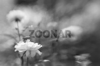 weisse Rose in schwarz-weiss